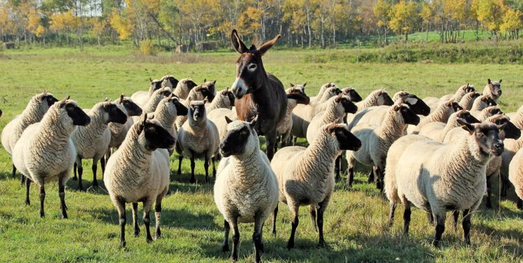 Sheep Canada magazine: Keeping careful watch over her flock